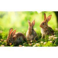 Три маленьких кролика
