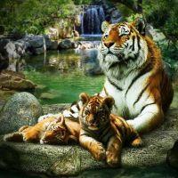 Мама, тигрята и водопад