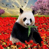 Панда и маки